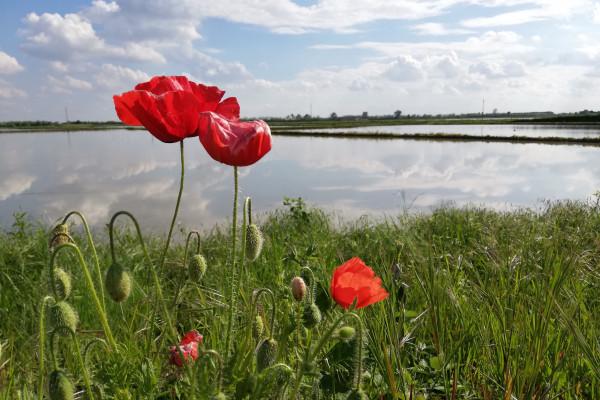 Risaie allagate in primavera (Ph. Giulia Varetti Ricexperience®)